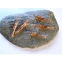 Shrimps 65mm x 10pc